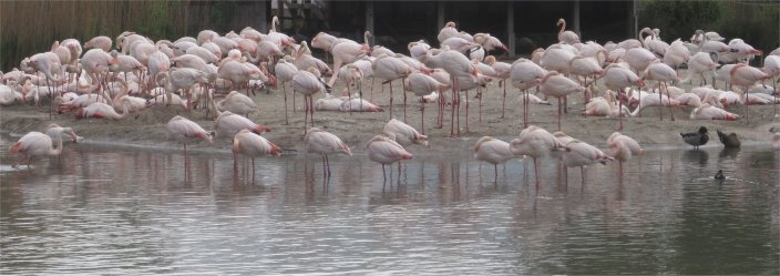 flamingos at wetlands3